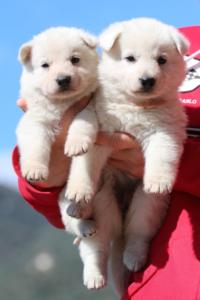 Berger-Blanc-Suisse-Chiots-BTWW-Theodosians-36