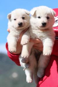 Berger-Blanc-Suisse-Chiots-BTWW-Theodosians-37