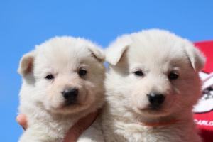 Berger-Blanc-Suisse-Chiots-BTWW-Theodosians-38
