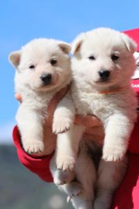 Berger-Blanc-Suisse-Chiots-BTWW-Theodosians-39