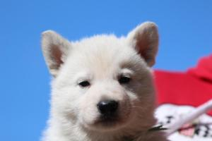 Berger-Blanc-Suisse-Chiots-BTWW-Theodosians-4