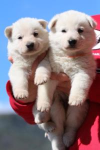 Berger-Blanc-Suisse-Chiots-BTWW-Theodosians-40