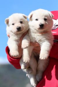 Berger-Blanc-Suisse-Chiots-BTWW-Theodosians-41