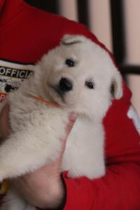 Berger-Blanc-Suisse-Chiots-BTWW-Theodosians-43