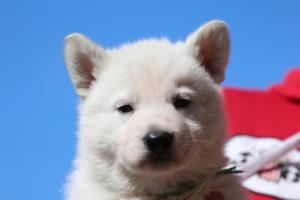 Berger-Blanc-Suisse-Chiots-BTWW-Theodosians-5