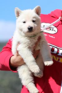 Berger-Blanc-Suisse-Chiots-BTWW-Theodosians-6