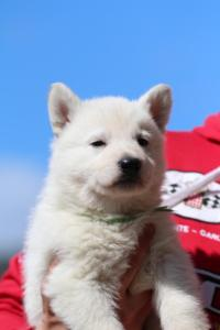 Berger-Blanc-Suisse-Chiots-BTWW-Theodosians-7