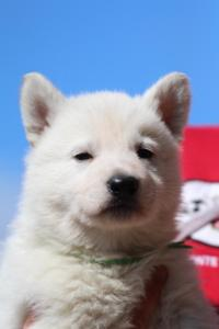 Berger-Blanc-Suisse-Chiots-BTWW-Theodosians-9