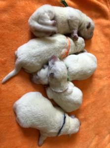 white shepherd puppies available3
