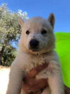 White-Shepherd-Puppies-BTWW-V-IMG 5194