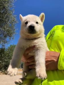 White-Shepherd-Puppies-BTWW-V-IMG 5196