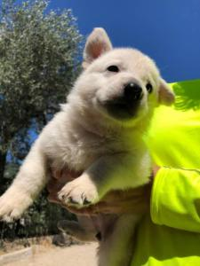 White-Shepherd-Puppies-BTWW-V-IMG 5213
