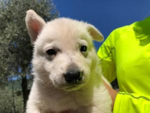 White-Shepherd-Puppies-BTWW-V-IMG 5217