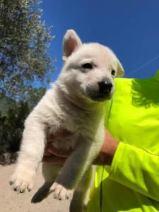 White-Shepherd-Puppies-BTWW-V-IMG 5220