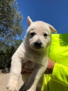 White-Shepherd-Puppies-BTWW-V-IMG 5221