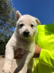 White-Shepherd-Puppies-BTWW-V-IMG 5222
