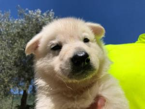 White-Shepherd-Puppies-BTWW-V-IMG 5230