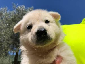 White-Shepherd-Puppies-BTWW-V-IMG 5231