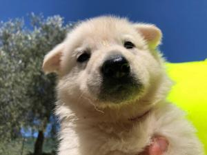 White-Shepherd-Puppies-BTWW-V-IMG 5232