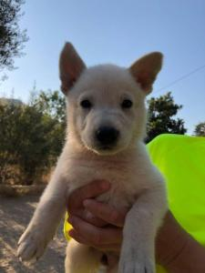 White-Shepherd-Puppies-BTWW-V-IMG 5295