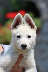 BTWW-White-Swiss-Shepherd-Puppies-June-2018-003