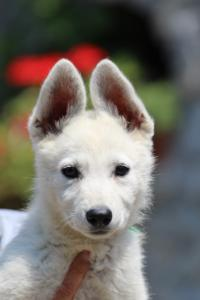 BTWW-White-Swiss-Shepherd-Puppies-June-2018-004
