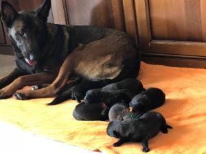 Belgia Malinois puppies14