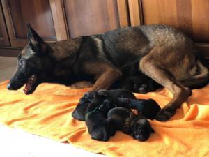 Belgia Malinois puppies18