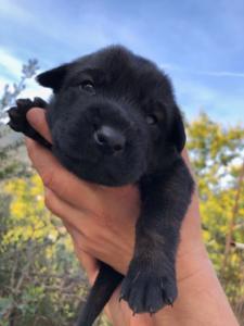 Belgian-Malinois-Puppies-BTWW-Hannibal-Litter-Feb-2019-0003