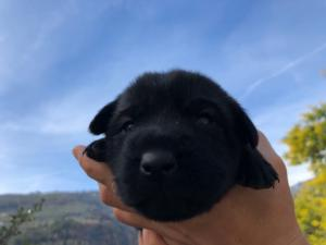 Belgian-Malinois-Puppies-BTWW-Hannibal-Litter-Feb-2019-0007