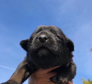 Belgian-Malinois-Puppies-BTWW-Hannibal-Litter-Feb-2019-0066
