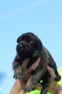 Belgian-Malinois-Puppies-BTWW-Hannibal-Litter-Feb-2019-0076