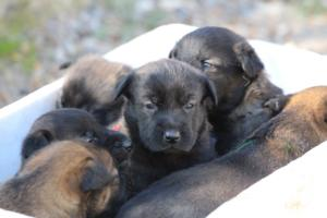 Belgian-Malinois-Puppies-BTWW-Hannibal-Litter-Feb-2019-0078