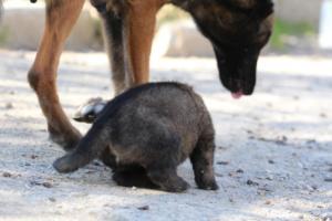 Belgian-Malinois-Puppies-BTWW-Hannibal-Litter-Feb-2019-0081