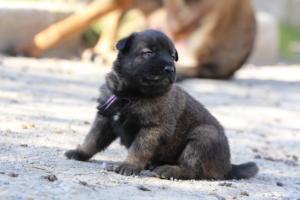 Belgian-Malinois-Puppies-BTWW-Hannibal-Litter-Feb-2019-0083
