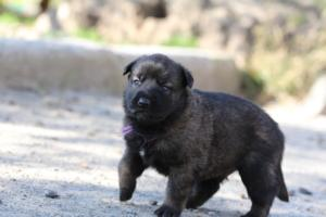 Belgian-Malinois-Puppies-BTWW-Hannibal-Litter-Feb-2019-0086