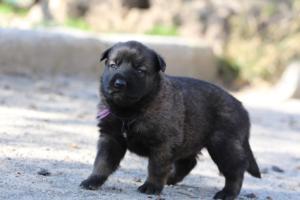 Belgian-Malinois-Puppies-BTWW-Hannibal-Litter-Feb-2019-0087