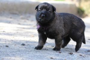 Belgian-Malinois-Puppies-BTWW-Hannibal-Litter-Feb-2019-0088