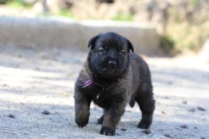 Belgian-Malinois-Puppies-BTWW-Hannibal-Litter-Feb-2019-0089