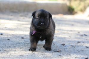 Belgian-Malinois-Puppies-BTWW-Hannibal-Litter-Feb-2019-0091