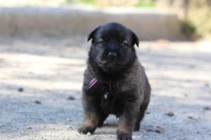 Belgian-Malinois-Puppies-BTWW-Hannibal-Litter-Feb-2019-0092