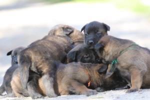 Belgian-Malinois-Puppies-BTWW-Hannibal-Litter-Feb-2019-0096