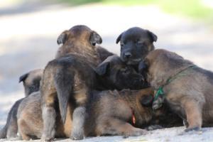 Belgian-Malinois-Puppies-BTWW-Hannibal-Litter-Feb-2019-0097