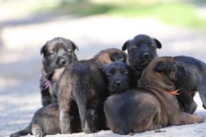 Belgian-Malinois-Puppies-BTWW-Hannibal-Litter-Feb-2019-0098