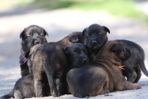 Belgian-Malinois-Puppies-BTWW-Hannibal-Litter-Feb-2019-0099
