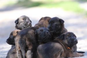 Belgian-Malinois-Puppies-BTWW-Hannibal-Litter-Feb-2019-0102