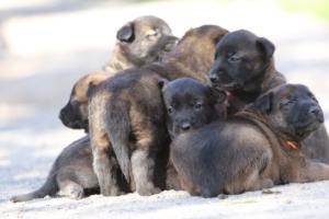Belgian-Malinois-Puppies-BTWW-Hannibal-Litter-Feb-2019-0106
