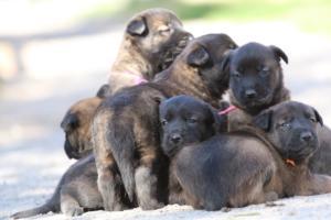 Belgian-Malinois-Puppies-BTWW-Hannibal-Litter-Feb-2019-0107