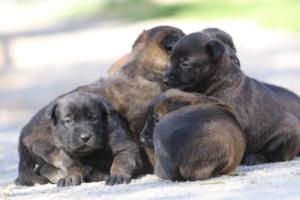 Belgian-Malinois-Puppies-BTWW-Hannibal-Litter-Feb-2019-0108