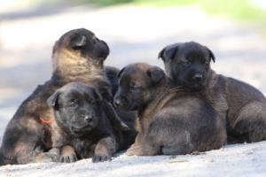 Belgian-Malinois-Puppies-BTWW-Hannibal-Litter-Feb-2019-0109